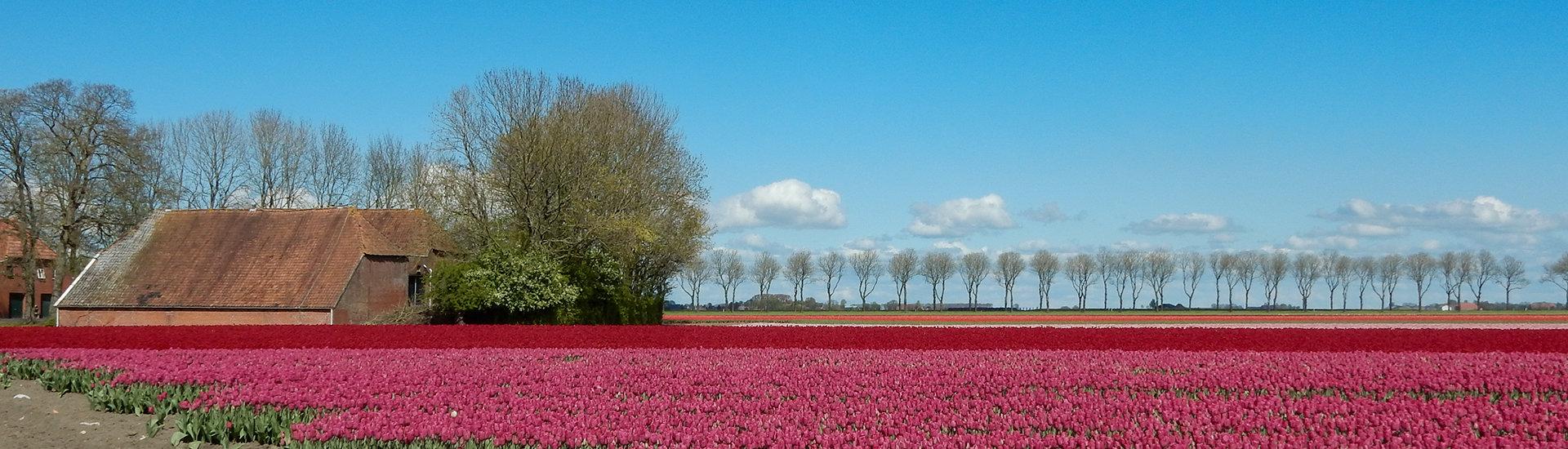Tulpenveld met boerderij